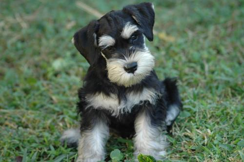 Black and Tan Schnauzer Puppy